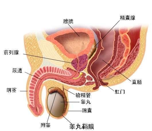 男人附睾头囊肿会自愈吗