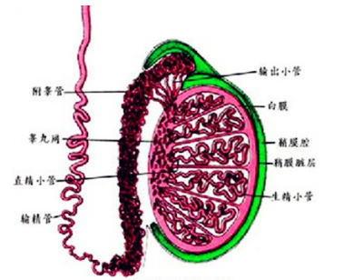 附睾头囊肿影响生育吗
