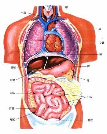 人体五脏六腑分布图