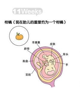 怀孕11周胎儿发育情况