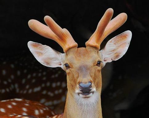 鹿茸的功效与作用是什么
