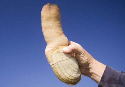 象拔蚌的营养价值 预防动脉硬化