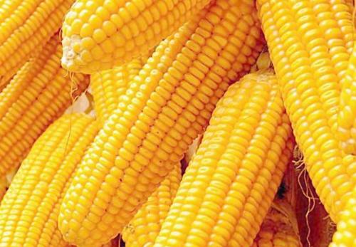 早餐吃什么减肥 可以吃玉米
